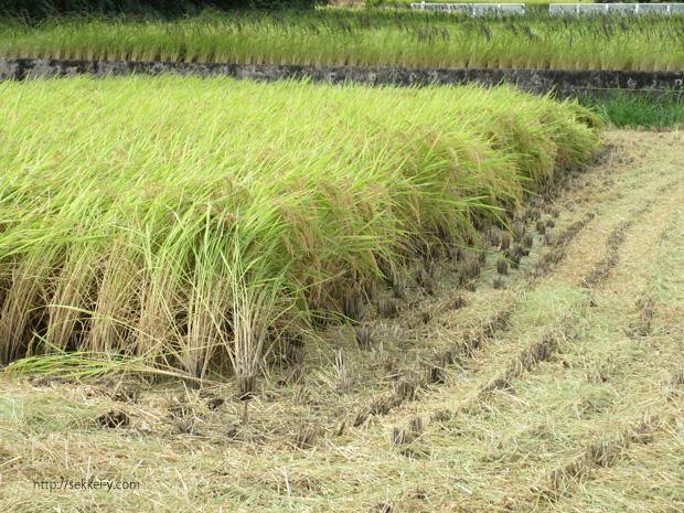 山梨県韮崎市 稲の収穫