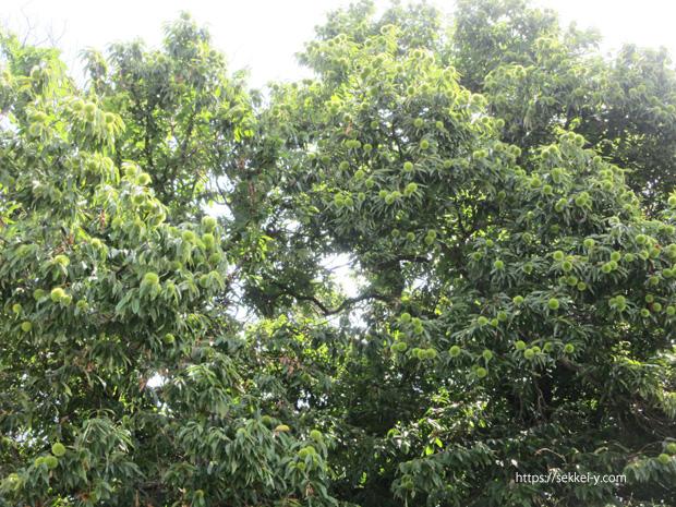 2階建ての高さのなる栗の木
