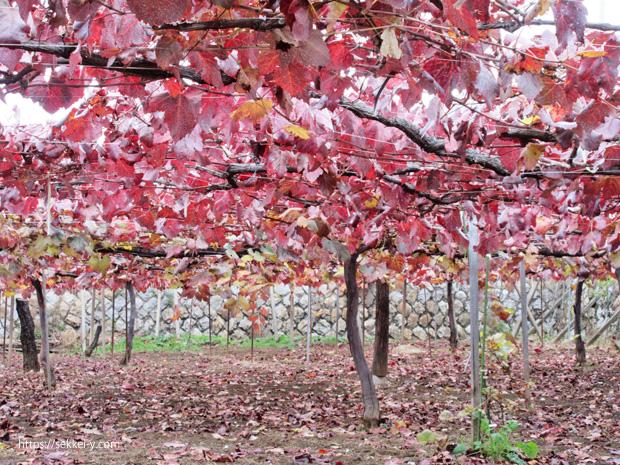 真っ赤に染まるブドウ畑の紅葉