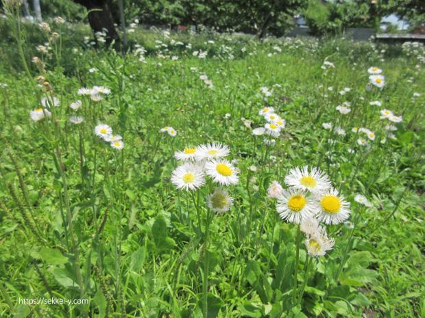 白い花の雑草 ハルジオン