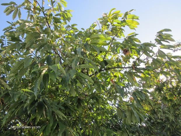 緑樹会にある栗の木