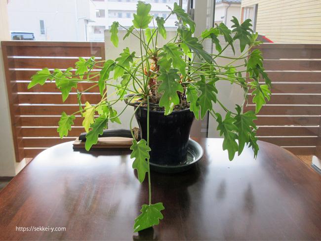 12年一緒に成長する観葉植物